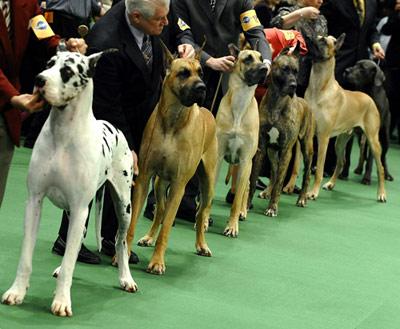 dog_show_10 (400x329, 43Kb)