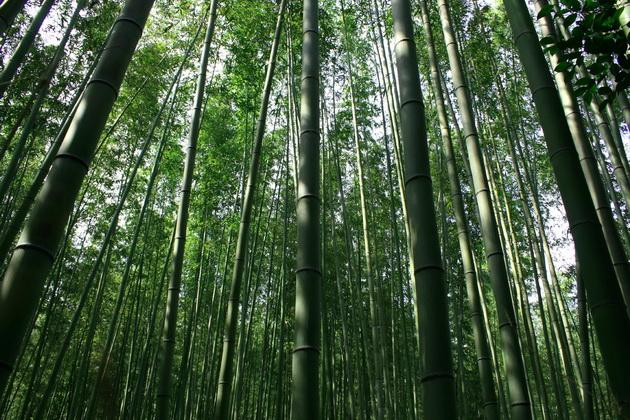 бамбуковая роща фото 6 (630x420, 206Kb)