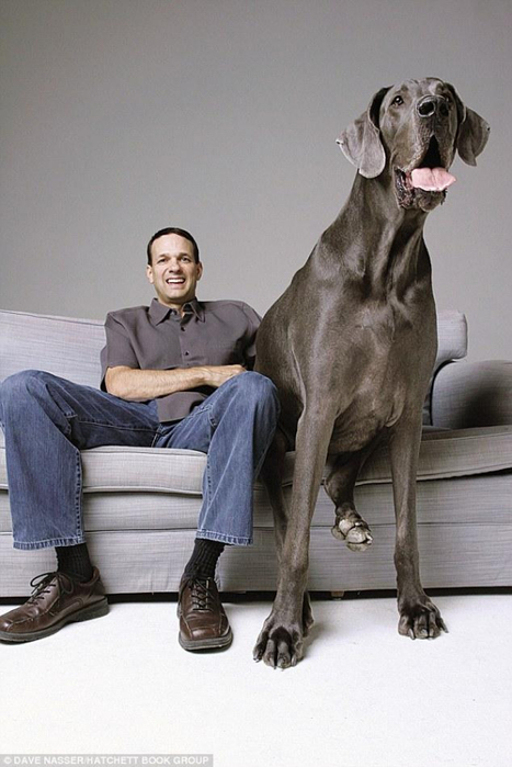 самая большая в мире собака 5 (467x700, 260Kb)