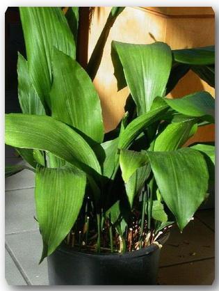 Plante_de_interior_usor_de_intretinut_-_Aspidistra_elatior (315x418, 59Kb)
