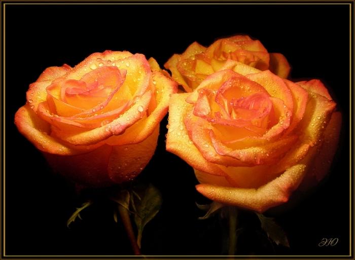 розы чайные !!! (700x513, 169Kb)