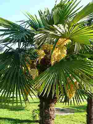 Китайская веерная пальма_0_0 (300x400, 11Kb)