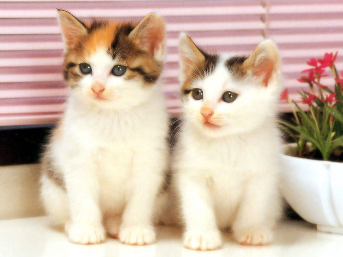 twin-white-cats (700x525, 72Kb)