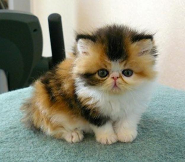 f20110424094520-72131035_1-british-short-hair-kittens-cornwall (625x550, 36Kb)