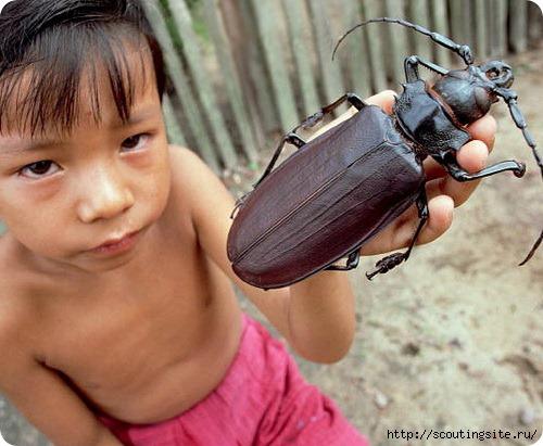 Самые крупные насекомые в мире/4631441_354235234626 (500x411, 130Kb)