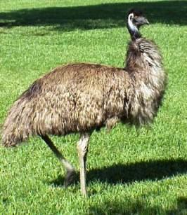 emu (266x307, 23Kb)