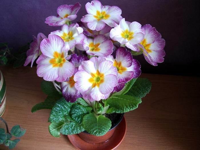 Красивые комнатные цветы картинки 6