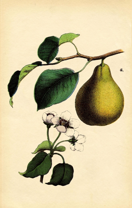 antique-pear-graphicsfairysm (444x700, 233Kb)