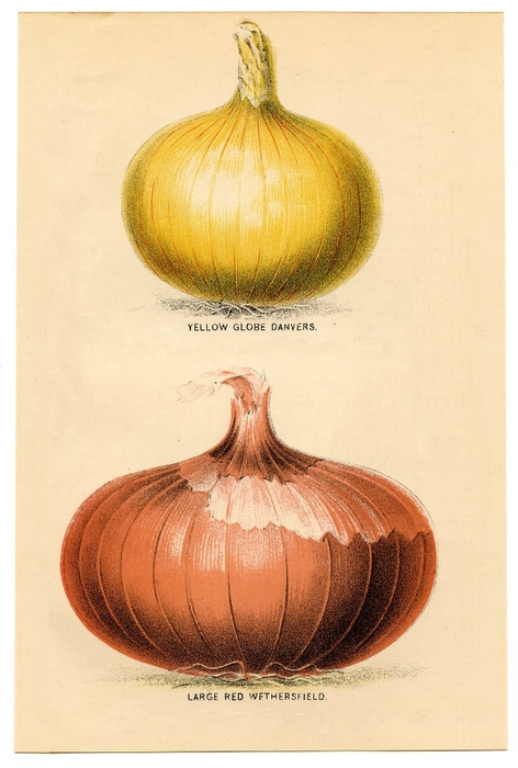 onions vintage image graphicsfairy5sm (472x700, 215Kb)
