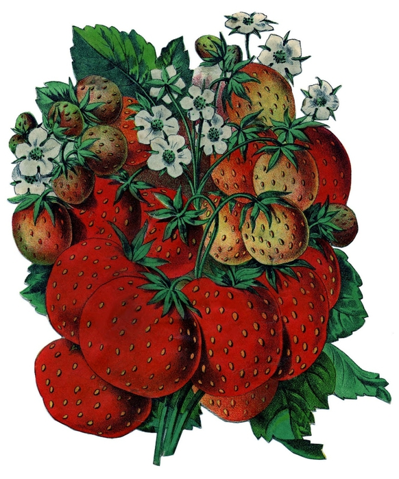 strawberries-graphicsfairy005 (582x700, 308Kb)