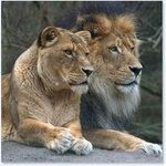 Превью lions (412x412, 39Kb)