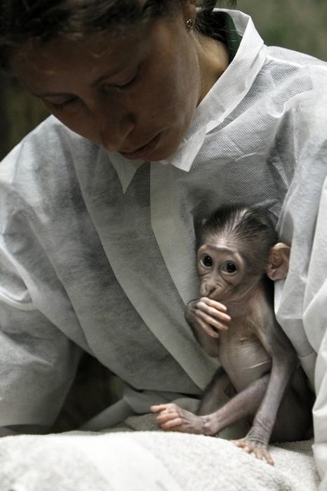 смешная обезьянка фото 3 (466x700, 268Kb)