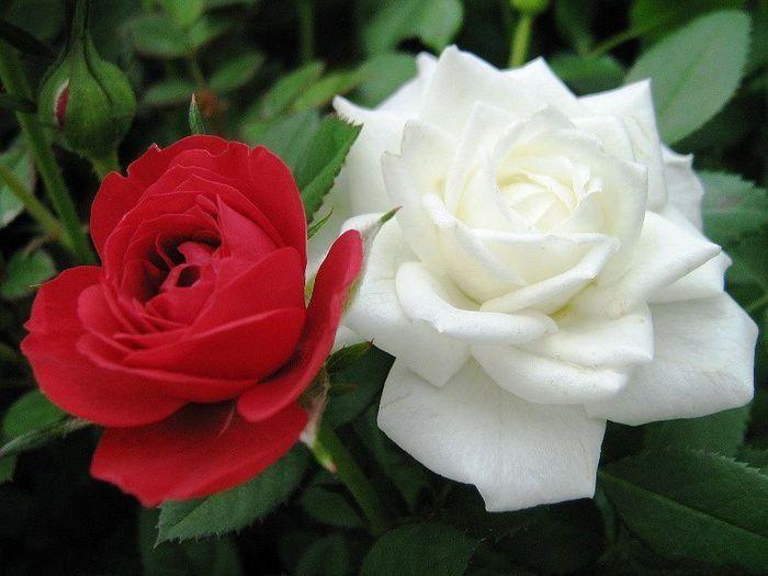 flower_beautiful_18 (700x525, 49Kb)