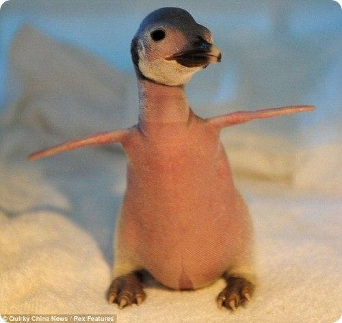 пингвиненок фото 1 (500x472, 39Kb)