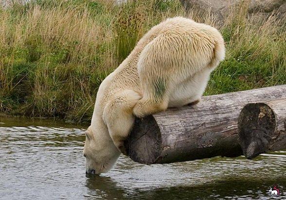 Белые медведи обычно любят купаться, а этот очень странный.