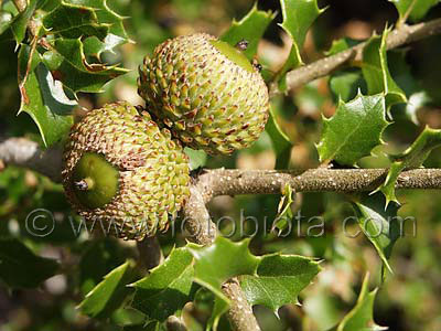 Kermes_Oak_Quercus_coccifera_photo_picture_image_Bulgaria_fotobiota_100[1] (400x300, 41Kb)