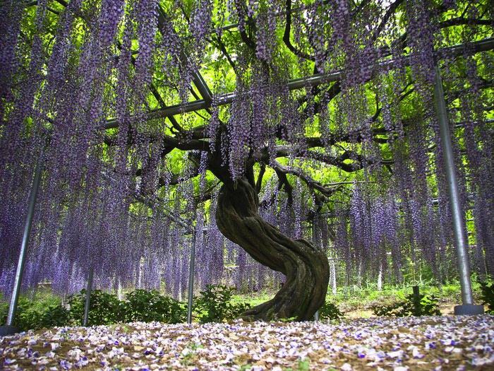 парк цветов глицинии фото 5 (700x525, 184Kb)