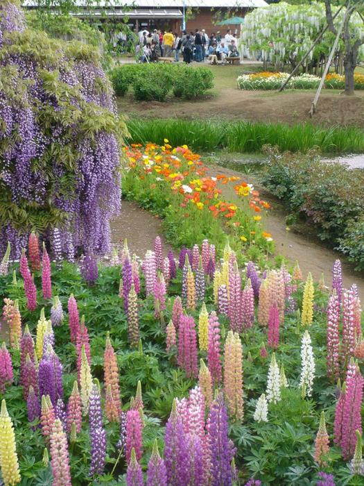 парк цветов глицинии фото 7 (525x700, 581Kb)