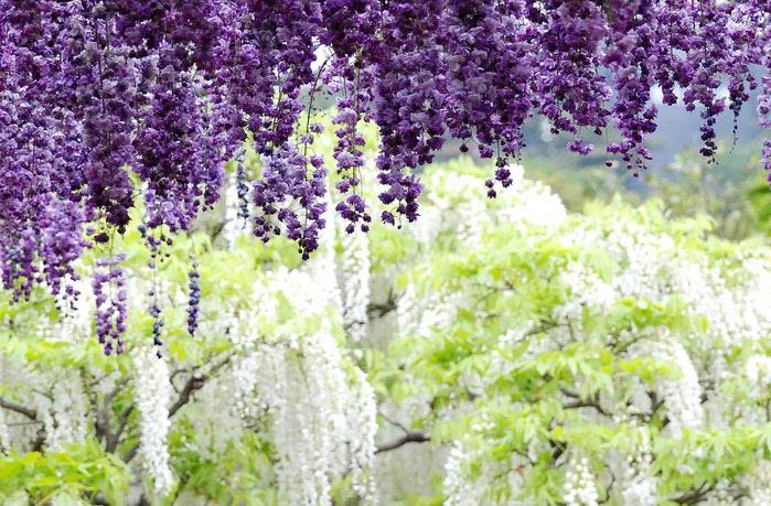 парк цветов глицинии фото 9 (700x459, 123Kb)