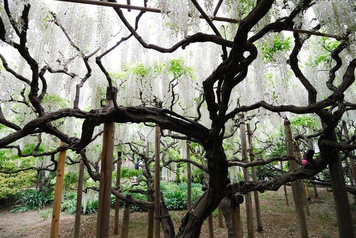 парк цветов глицинии фото 11 (700x468, 144Kb)