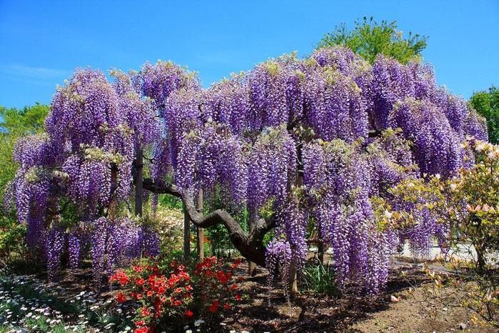 парк цветов глицинии фото 12 (700x466, 154Kb)