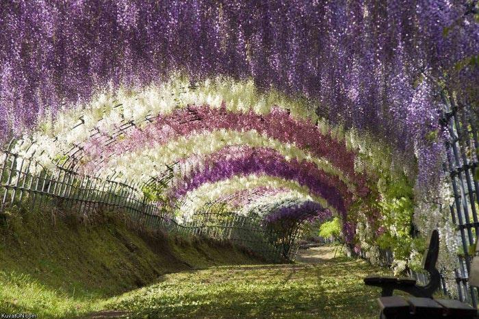 парк цветов глицинии фото 14 (700x466, 122Kb)