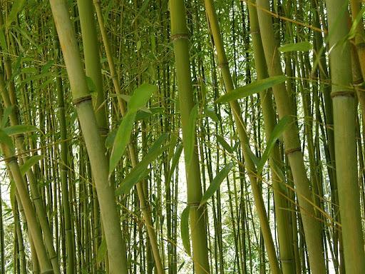 Bamboo11 (512x384, 123Kb)