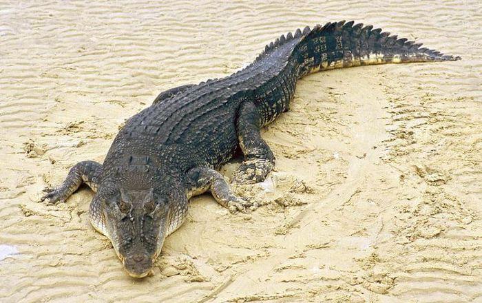 гребнистый крокодил (600x450, 82Kb)
