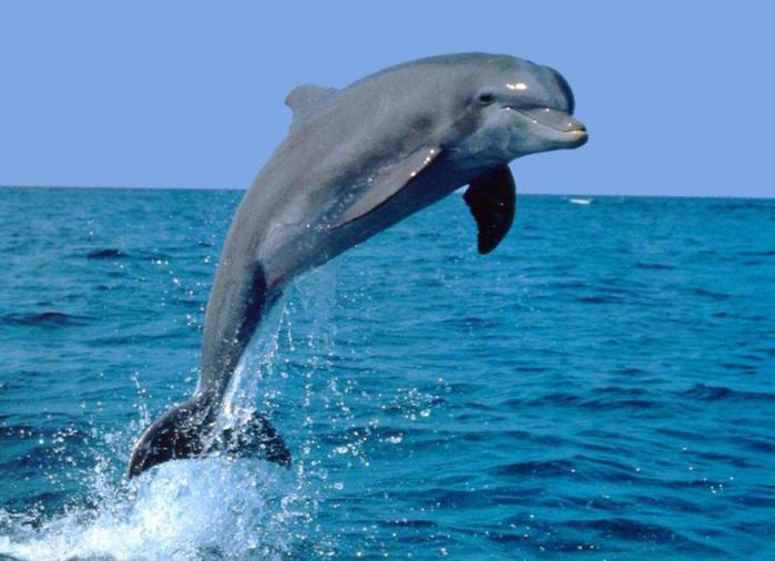 Дельфин-афалина (600x450, 47Kb)