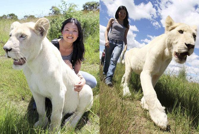 белые львы фото 4 (670x450, 95Kb)