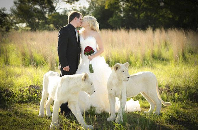 белые львы фото 6 (670x442, 80Kb)