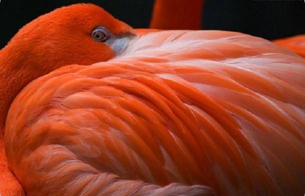 Фламинго - чудо природы