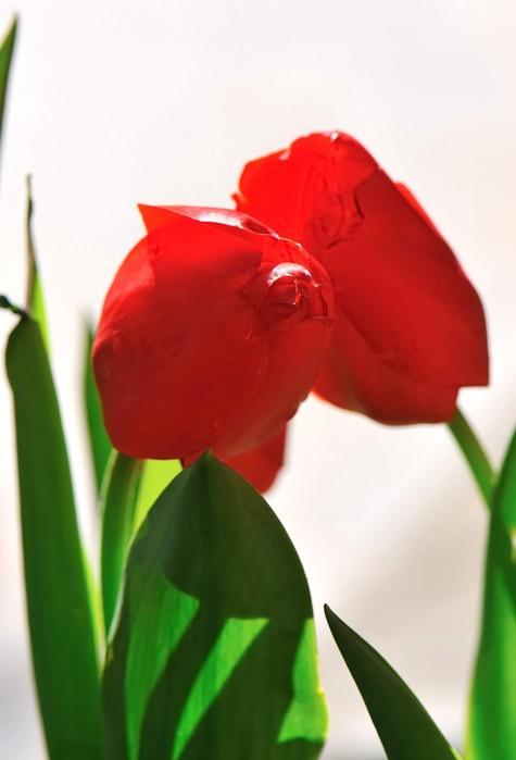 8 Тюльпаны (475x700, 43Kb)