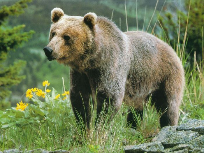 grizzly (700x525, 81Kb)