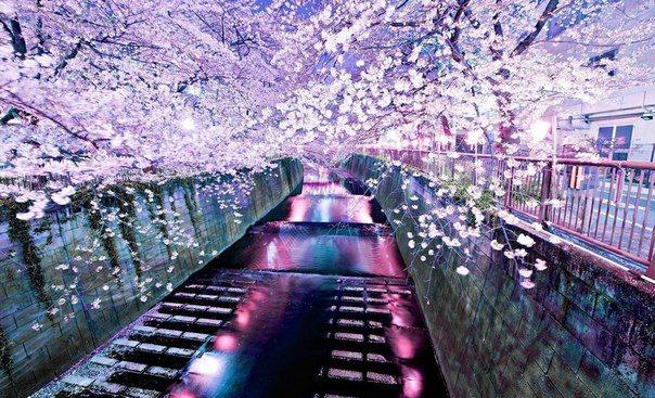 Цветение сакуры в Японии (604x367, 93Kb)
