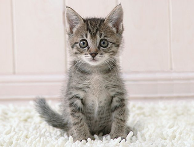 Sidebox-Kitten-Thinks-R_jpg_630x1200_upscale_q85 (630x477, 37Kb)