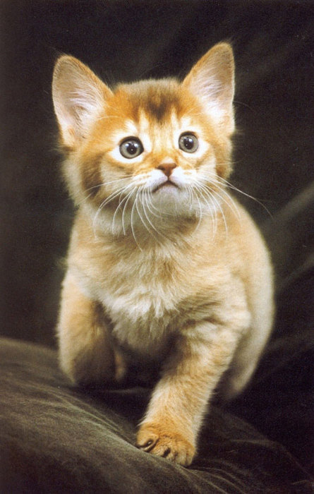 sorrel-somali-kitten (445x700, 78Kb)