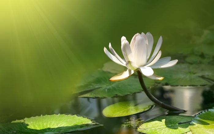 3911698_cvetok_lotosa_oboi (700x437, 162Kb)
