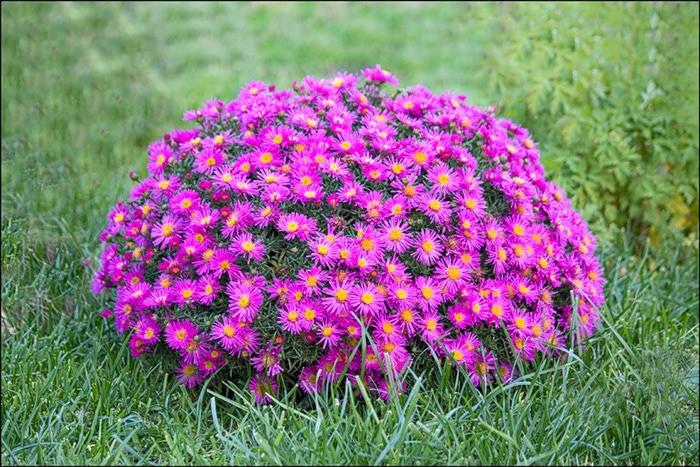 Красивые многолетние цветы для клумбы