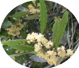 Цветы лавра благородного (276x239, 145Kb)