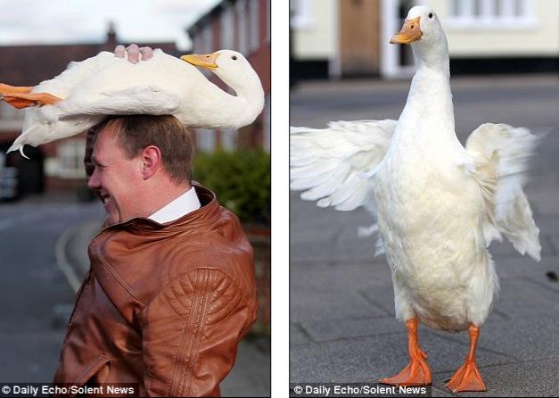 если гусята клюют друг друга