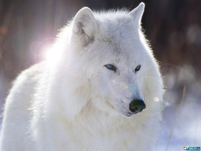 волк (700x525, 76Kb)