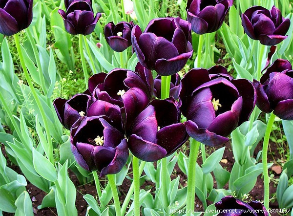 весенние цветы фото и названия: