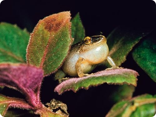 loudest-animals-coqui-tree-frog_37392_600x450 (500x375, 47Kb)
