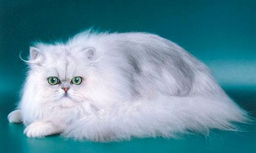 фото кошка голубая шиншилла