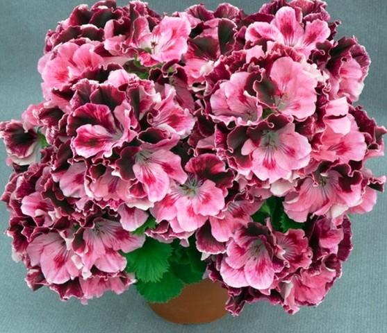 Пеларгония домашняя  Пеларгония  Красивоцветущие