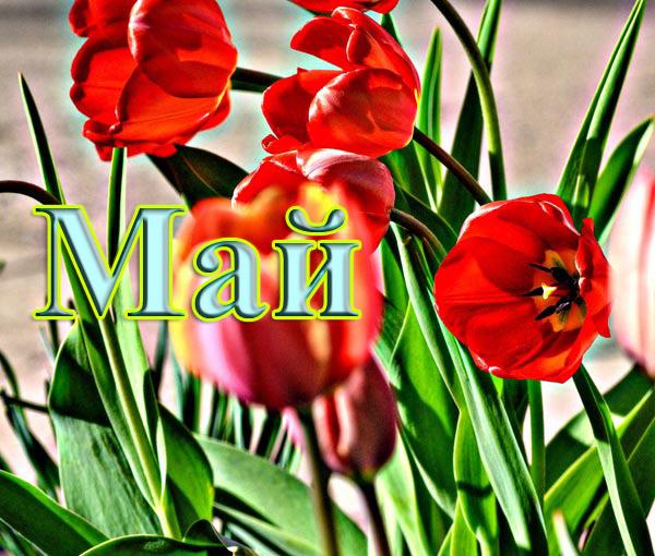 май/4348076_maitulpani (600x510, 116Kb)
