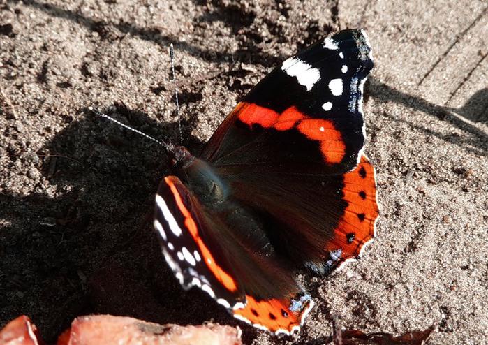 бабочка (700x494, 157Kb)