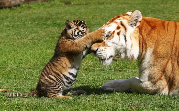 Бенгальский тигренок играет с тигрицей (700x437, 122Kb)