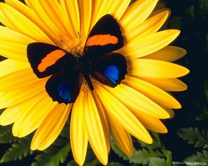 бабочка (700x560, 170Kb)